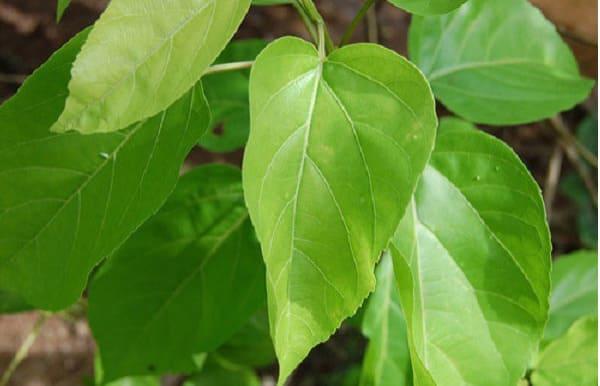 cách triệt lông bằng lá vông, Cách tẩy lông bằng lá vông, triệt lông từ lá vông, cách triệt lông tay bằng lá vông